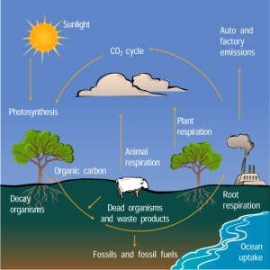 This picture shows how carbon cycles throughout the earth.