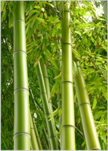 Bamboo. The eco friendly grass.